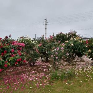 こんなとこにも薔薇が咲いてました。