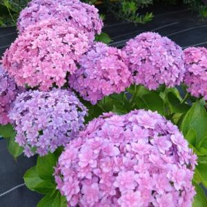 紫陽花の季節ですね