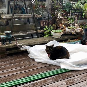 雨上がりの猫&放置多肉も好き(*´ω`*)