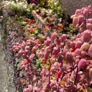 全身ピンクの大きな多肉&はっちのお庭で日向ぼっこ計画 |ωФ≡)