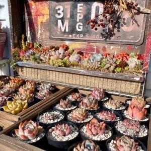 多肉棚の可愛い多肉たち&はっちの試練(=ΦωΦ=)