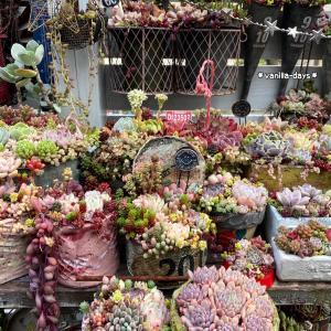 コサージュみたいな多肉の花&はっちの困った遊び(=ΦωΦ=)♬