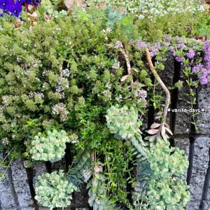 爽やかな斑入りの小花&緑が増えた初夏の多肉花壇(*>ω<*)