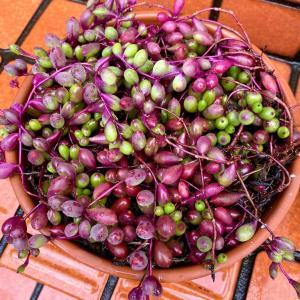 友達花壇のルビネとウチ花壇のルビネ&斑入りの成長 |ωФ≡)