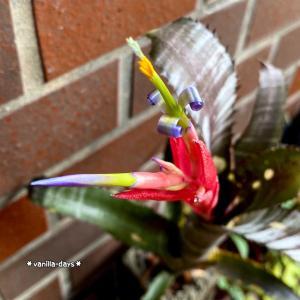 ビルベルギアの花&ダイソーで見つけたオススメ園芸用品(*´罒`*)♬