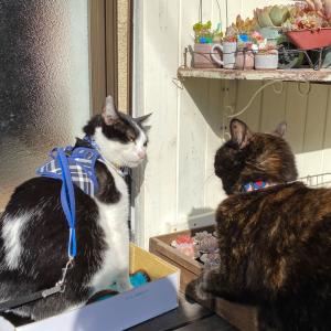高い場所の多肉の確認方法&欲しがり猫はっち(=ΦωΦ=)ホシイ