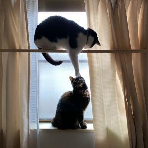 キャットウォークでポーズを決める猫&アンテナを伸ばす多肉\( º∀º )/