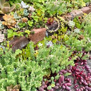 大雨で暴れた雨除けビニールの被害&雨除け無しの多肉花壇( ˙◊︎˙◞︎)◞︎