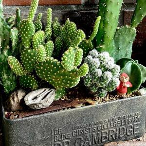 100均サボテン寄せ植え&実はコーデックスだった観葉植物 |ωФ≡)♫