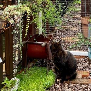 何かを探してる猫&アエオニウムの突然変異(=ΦωΦ=)♫