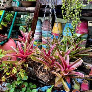 真っピンクになる観葉植物&増やそうとした黒法師のその後 |ωФ≡)