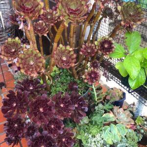 食虫植物の花後&おこちゃ〜ん |ωФ≡)⁉︎