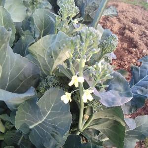 ブロッコリーの花!
