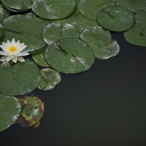 浮世の睡蓮