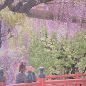 藤祭り ~亀戸天神~