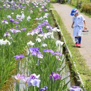 初夏の下町さんぽ ~小岩菖蒲園~