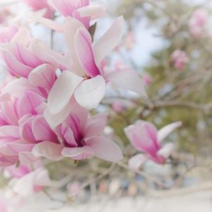 京都御苑のマグノリア