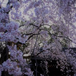 平野神社の宵桜