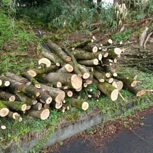 薪活 市内のご近所へ枝落とし済みの欅を盗りに行く
