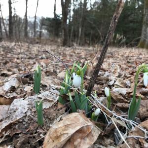 スノードロップと鳥のさえずりで春を感じる♪
