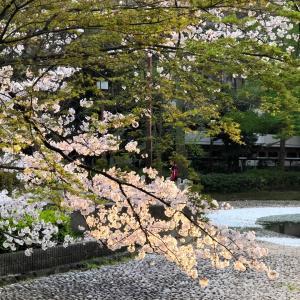 夕桜・・・ミニ散歩