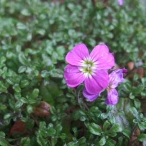 バージニアストックもう開花し始めた?