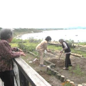 「ラナンキュラスを植えました」