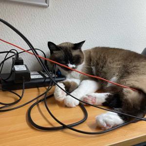 テレワークを邪魔するネコ