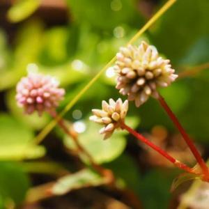 カタバミ咲く冬の庭に異変あり