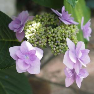 6月前半の庭の紫陽花たち