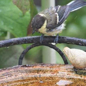 猛暑の中やって来るシジュウカラの若鳥
