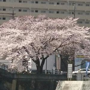 川と桜とうみねこ?