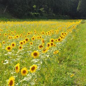千種のゆり園と佐用のひまわり畑