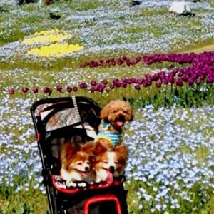 明石海峡公園のネモフィラとチューリップが綺麗だったよ