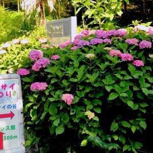 淡路島公園の紫陽花見に行って来ましたです