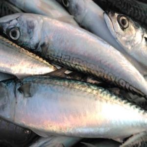 食味につられ再び勝浦トロサバ釣りに、、大漁でしたよー