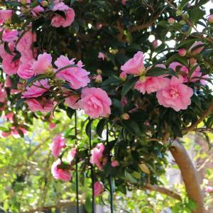 咲き始めた小さな花たちと乙女サザンカ