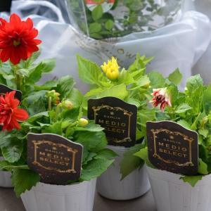 ダリアメディオセレクトとゲンペイカズラの花
