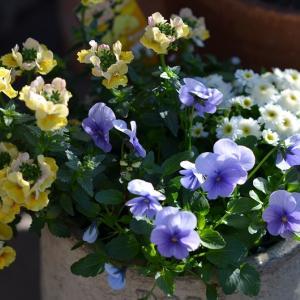 寄せ植えの鉢たち