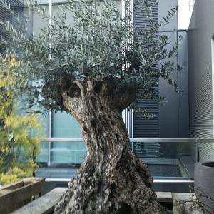 100万円のオリーブの木