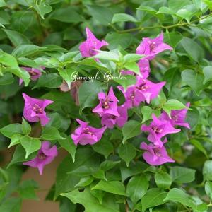 花の咲かないパーゴラのブーゲンビリア