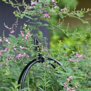咲き始めのダルマ萩と満開のコバノランタナ