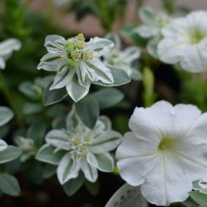 ユーフォルビア(初雪草)氷河と白い花苗