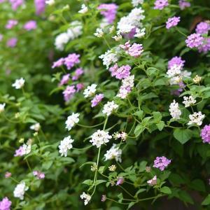 庭から外に向かって咲く花々