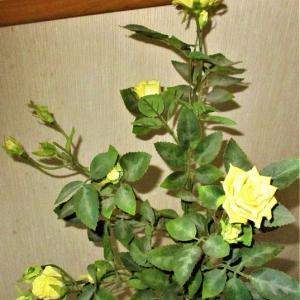四季咲きの黄色いバラさく