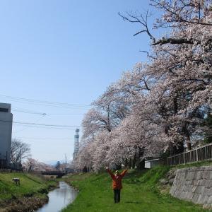 青田川桜満開