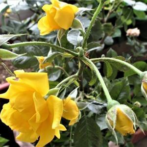 黄色いバラ咲く