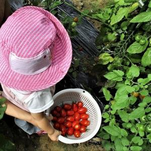 孫 1年6か月葵と家となりでトマト取り