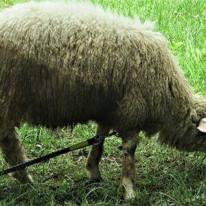 付属小学校 羊