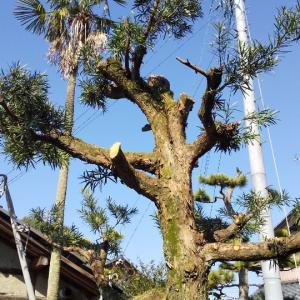 庭木(羅漢樹)の剪定❗️